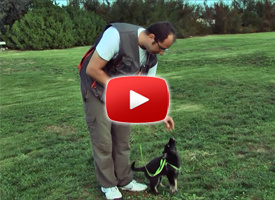 Anteprima Videocorso Addestramento Cani