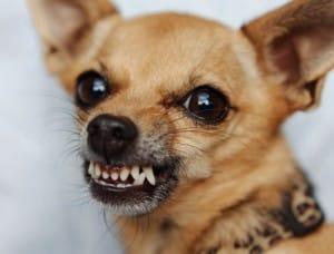 Il cane ringhia quando viene accarezzato