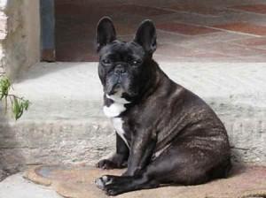 Il Bulldog Francese Caratteristiche Cura Ed Alimentazione