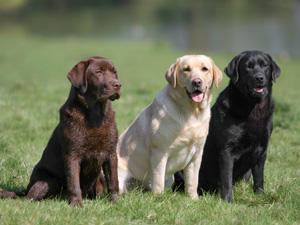 Come Addestrare Un Labrador Consigli Pratici