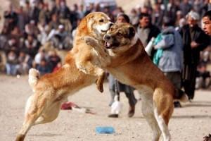 cani che litigano fra loro