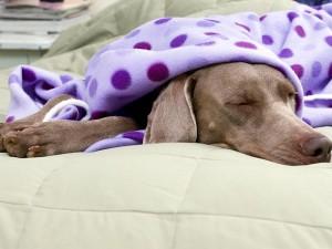 febbre ne cane