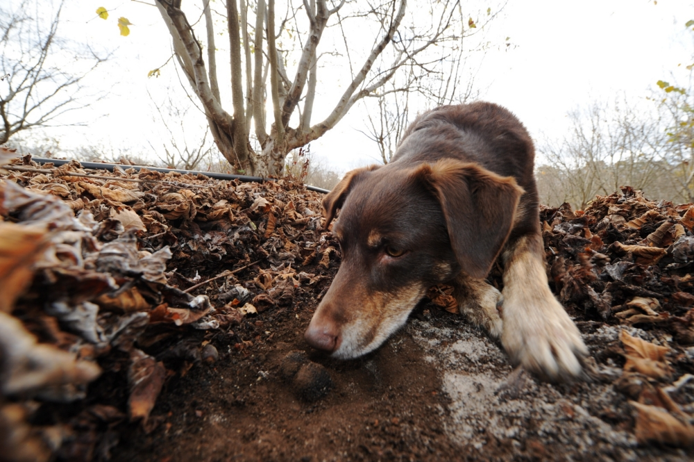Come Addestrare Un Cane Da Tartufo I Consigli Per Iniziare