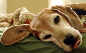 Neoplasia intestinale nel cane