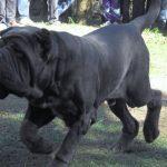 Collari cani grossa taglia