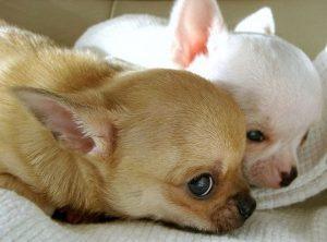 Cucce Per Chihuahua Consigli Acquisto O Fai Da Te Da