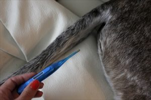 Migliori 7 Termometri per cani